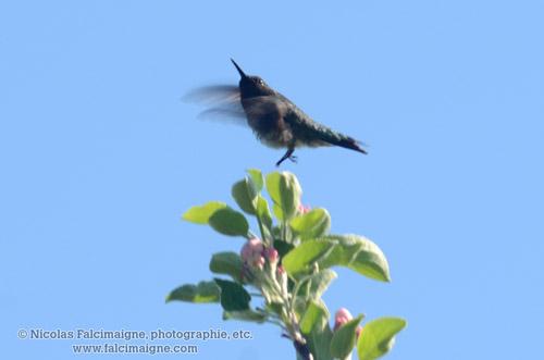 Colibri sur pommier - 9 juin 2014